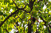 Sturnus vulgaris eating cherries in warm spring day.  The pictures are taken in the spring of 2019, in the city of Veliko Tarnovo, Bulgaria. The buirds were flying around the cherry tree and were eati