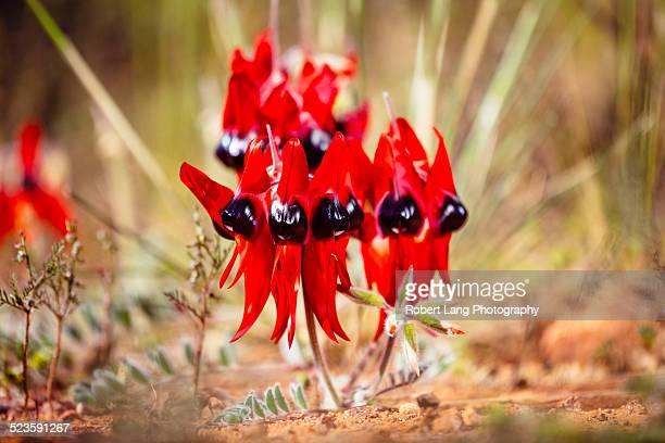 Sturt Desert Pea flower, Australia