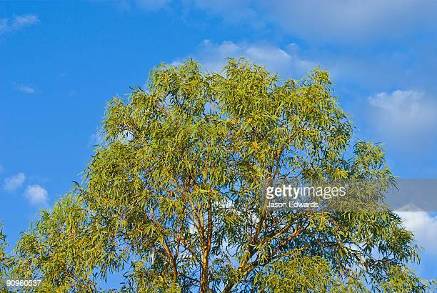 The bright green canopy of a eucalyptus tree against the desert sky.