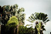 Various tall palm trees in florida getting blown from strong wind on overcast stormy day. Stylized and desaturated.