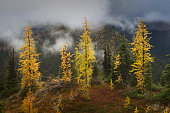 Subalpine larches