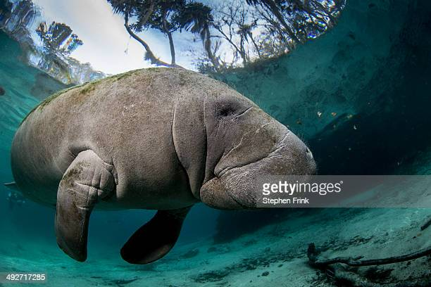 Submerged Manatee.