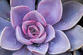 Succulent Plant, Cactus, Flower, Plant, Bunch of Flowers,wet, rain