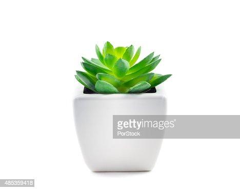Succulent in Pot : Stock Photo
