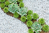 succulent plant in garden