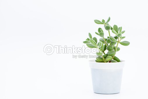 succulent plant potted : Stock Photo