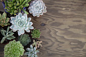 """Closeup of assorted succulent plants on wooden table ready for planting in garden. Copyspace.""""n"""
