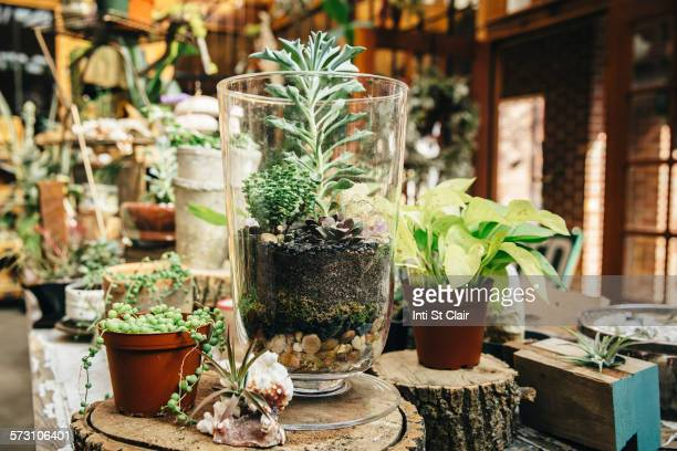 Succulent plants for sale in nursery