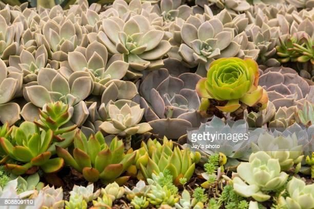 Succulent Plants Growing At Garden