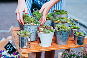 Female hands taking beautiful succulent pants at the pots. Spotted on the flower market.