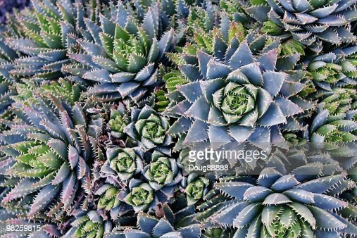 succulents at the jardin de cactus stock photo
