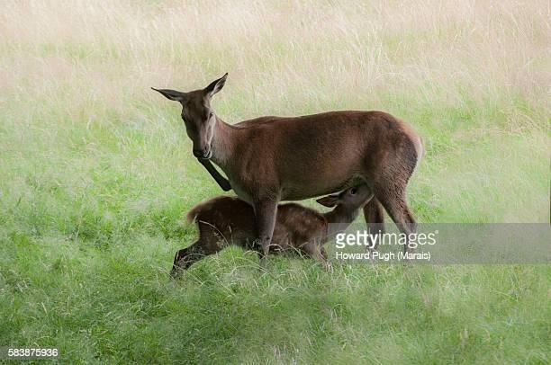 Suckling Red Deer and Mother