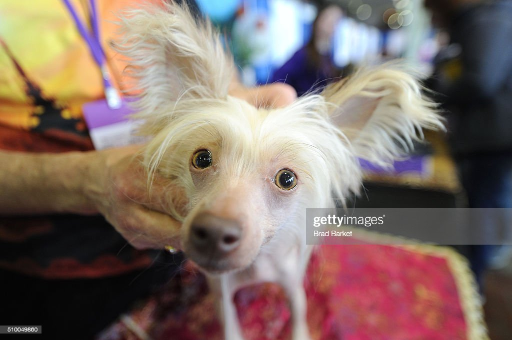 Sucre, a Chinese crested dog attends the 7th Annual AKC Meet The Breeds at Pier 92 on February 13, 2016 in New York City.
