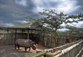 Sudan one of four extremely endangered Northern White rhinoceros shipped to Kenya on December 20 explores his new pen Ol Pejeta reserve near the...