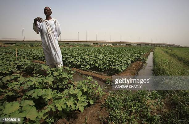 Sudanese farmer Hasab alRasul Mohamed Ali tends to his crops in Shendi the hometown of President Omar alBashir located on the banks of the Nile in...