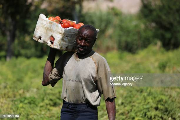 Sudanese Mirsal Ali carries tomatoes to earn himself keep in Eastern Ghouta district of Damascus Syria on September 20 2017 Mirsal Ali hopes to...