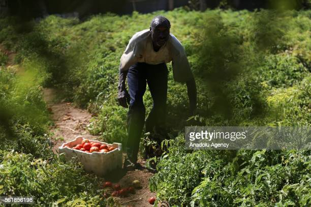 Sudanese Mirsal Ali picks tomatoes to earn himself keep in Eastern Ghouta district of Damascus Syria on September 20 2017 Mirsal Ali hopes to return...