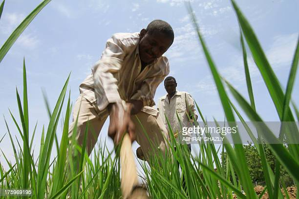 Sudani works in a experimental rice field that is cultivated as part of the Japanesebacked Gezira rice programme on July 25 2013 in Wad Medani south...