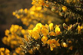 Close-up of gorse flowers backlit against the setting sun captured on RSPB Snape Warren nature reserve, Suffolk, England on a winter's day.