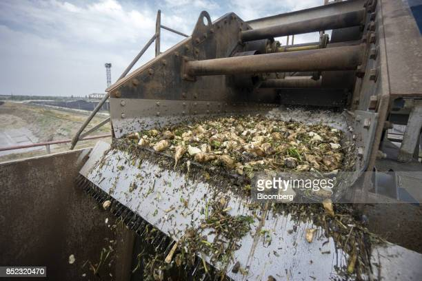 Sugar beets move off a conveyor before a washing process at the EDF Man Ltd refinery in Nikolaev Ukraine on Friday Sept 22 2017 More sugar is coming...