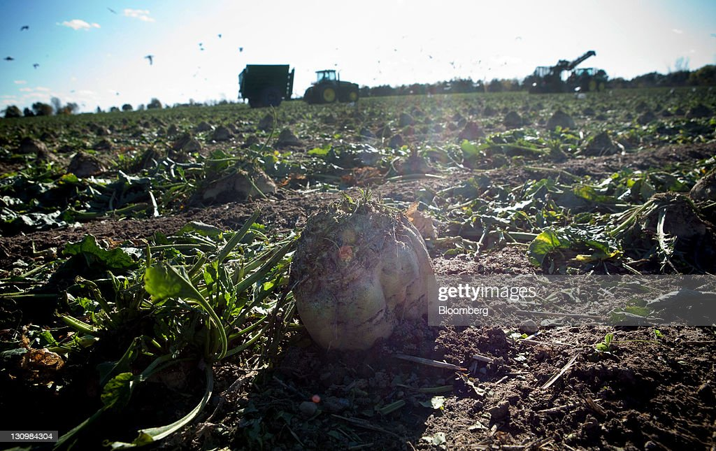 Sugar beets sit in the field after the green tops were cut off during the harvesting process in Bay City, Michigan, U.S., on Monday, Oct. 24, 2011. U.S. sugar supplies this year will fall to the lowest since record-keeping began in 1960 as consumption rises and a smaller beet crop limits supplies left from last season, according to a U.S. Department of Agriculture report released earlier this month. Photographer: Adam Bird/Bloomberg via Getty Images