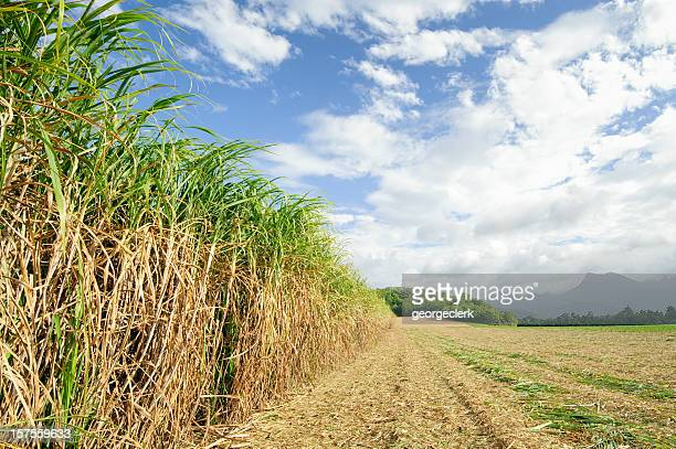Sugar Cane at Harvest