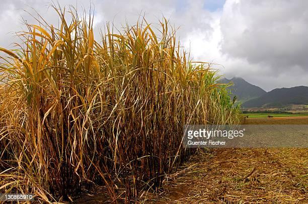 Sugar cane before the cut, Mauritius