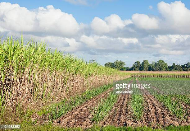 Sugar Cane Crop Cultivation