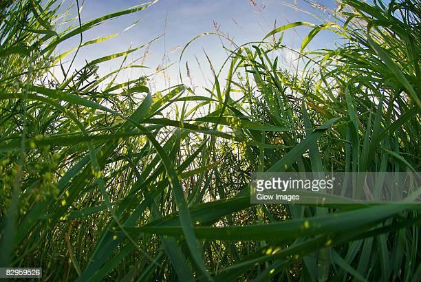 Sugar cane crop in a field