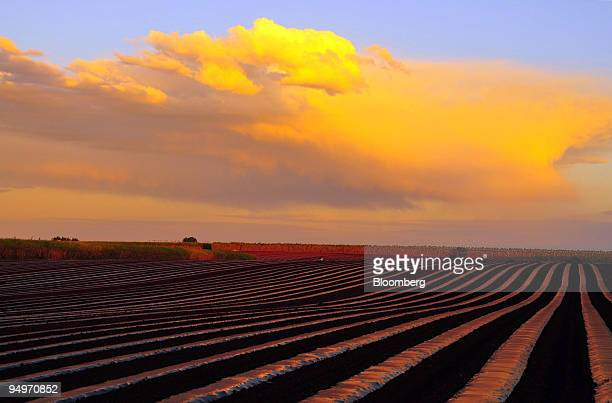 A sugar cane farm's secondary crop of watermelons is protected by rolls of plastic mulch in Bundaberg Queensland Australia on Thursday Aug 13 2009...