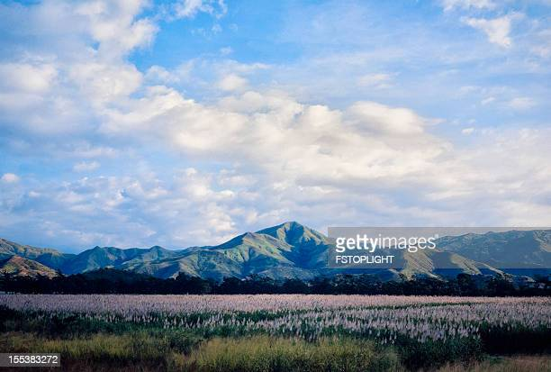 Sugar cane field with mountains
