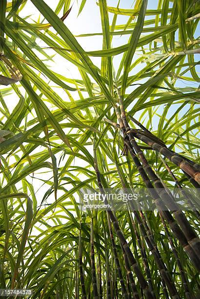 Sugar Cane From Below