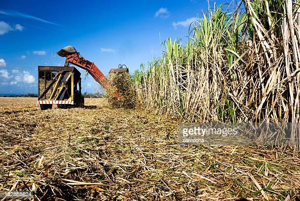 Sugar cane harvest time