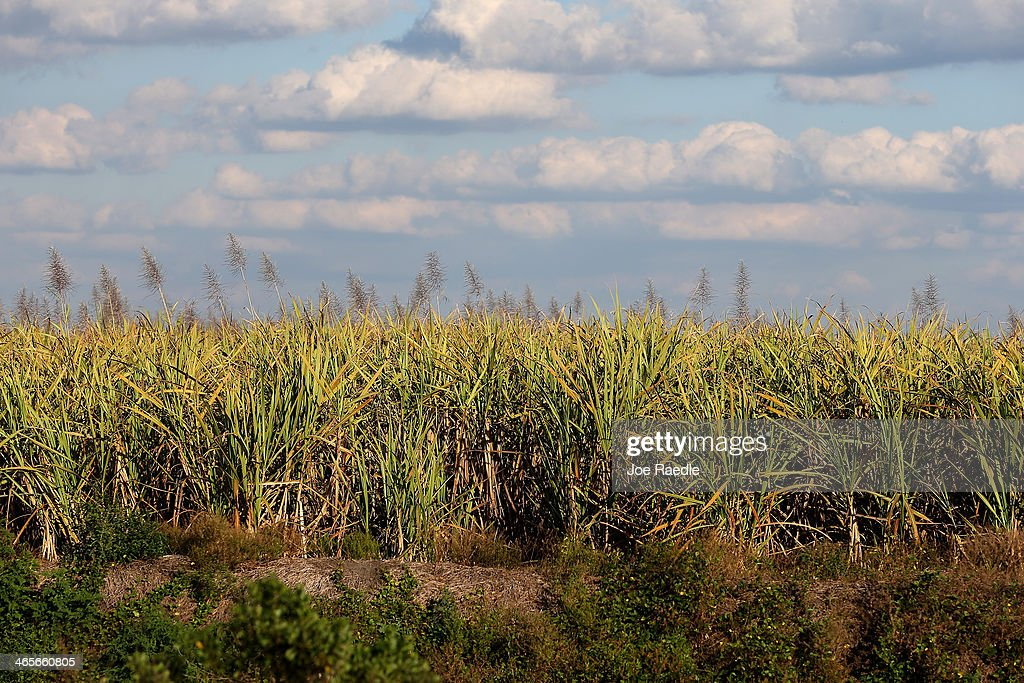 Sugar cane is seen in the fields on January 28 2014 in Clewiston Florida The United States House and Senate are reported to have agreed on a new...