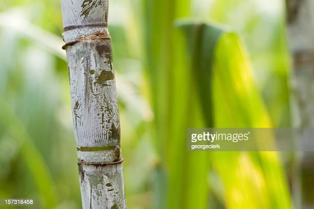 Sugar Cane Macro