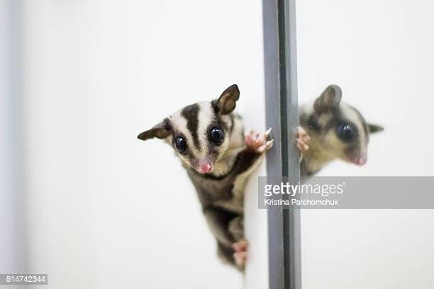 A sugar glider joey (baby) climbing up the mirror
