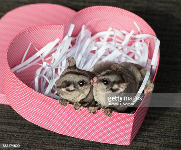 Sugar gliders Candy and Popcorn enjoy an enrichment heartshaped box coated with their favourite food Nectar at Wild Life Sydney Zoo on February 14...