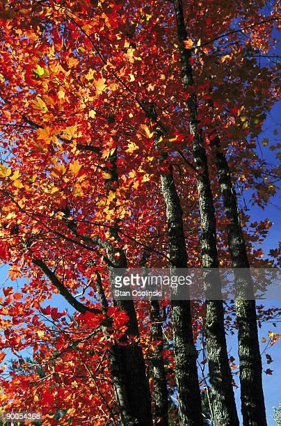 sugar maple acer saccharum autumn colour michigan, usa