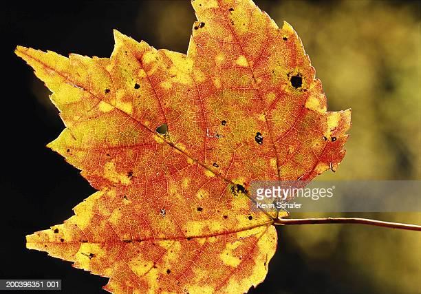 Sugar maple leaf (Acer sp.), close-up
