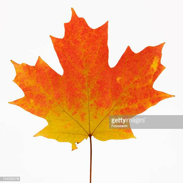 Sugar Maple leaf in Fall color against white background.
