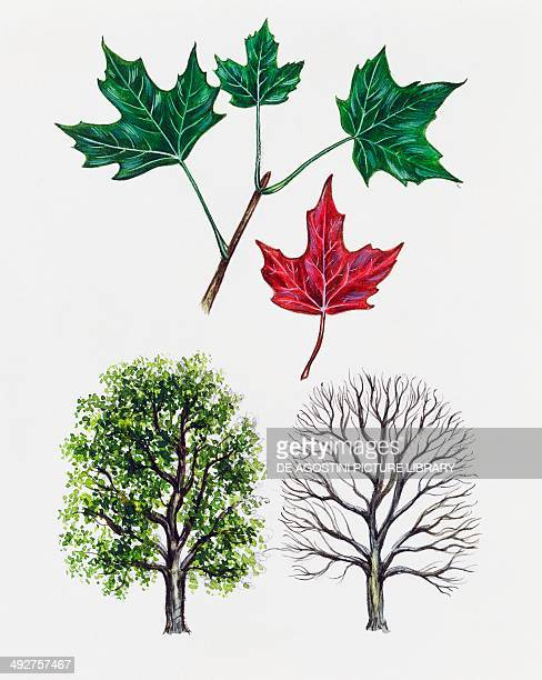 sugar maple or Rock maple Aceraceae tree with and without foliage leaves illustration