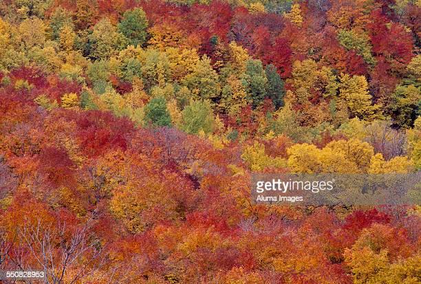 Sugar maples in autumn