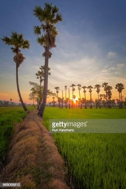 sugar palm farm