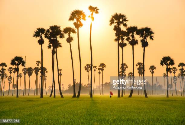 sugar palm tree and rice sunset