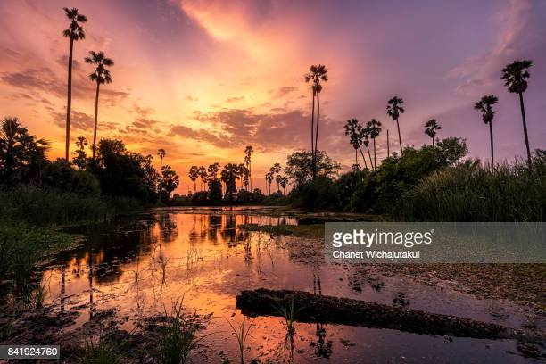 Sugar Palm tree water reflection at sunset in Thailand.