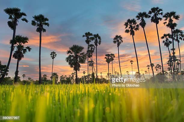 Sugar plam tree on rice field