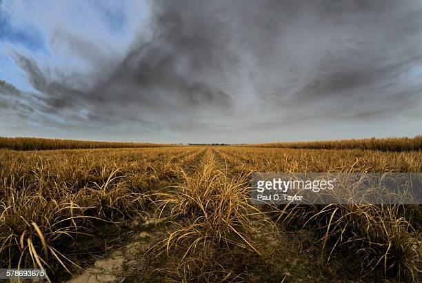 Sugarcane Field, gathering clouds