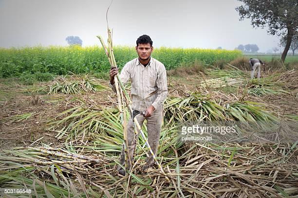 Cueillette à la canne à sucre