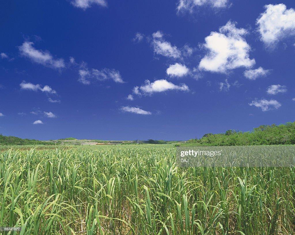 Sugarcane : Stock Photo