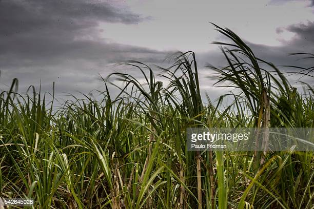 Sugarcane plants stand before the harvest at a farm that belongs to Guarani SA about 50 km from Sao Jose do Rio Preto Brazil on Tuesday October 8th...